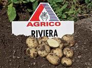 Семенной картофель. Сорт Ривьера!