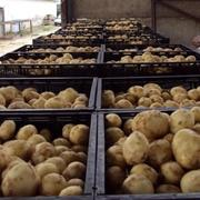 Картофель. ГОСТ 26545-85. Без ГМО.