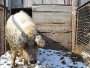 Свиноматки породы Венгерская мангалица, Мангал