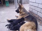 Продам щенков немецкой овчарки,  Днепропетровск