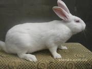 Продам кролей в живом весе на расплод