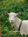 Заанинская коза,  донецк