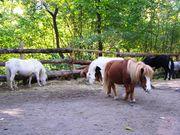 шетленские пони и спортивные лошади