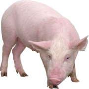 Продам Свиней(свині беконні)