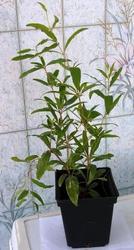 Саженцы экзотических растений