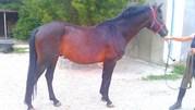 Продается лошадь украинской верховой породы