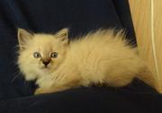 Питомник Невский Бриллиант предлагает невских маскарадных котят,  сиб