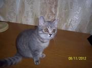 продаю котенка шотландский скоттиш страйт мальчик