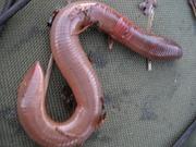 Червь Старатель,  Калифорнийский червь