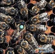 Продам бджолиних маток карпатка