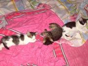 Котята очень ласковой домашней кошки.