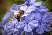 Ежегодно продаю пчелосемьи,  6-ти и 4-х рамочные пчелопакеты
