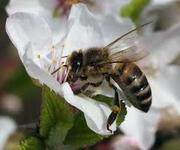 Куплю пчелопакеты,  пчелосемьи. Западная Украина.