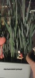 уникальные саженцы финиковой пальмы
