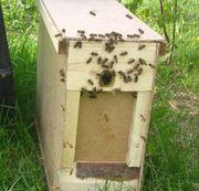 Продам пчелопакет в Донецке
