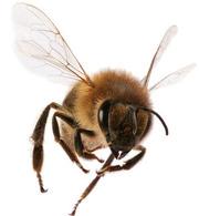 Трудолюбивее пчелы никого нет