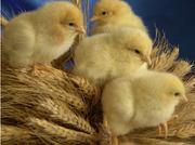 цыплята за зерно