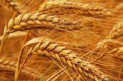 Пшеница на экспорт