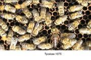 Карника матки пчелиные.