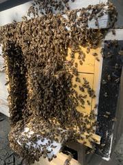 Карпатские плодные меченые пчеломатки (тип Вучковский)