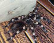 Паук - птицеед Акантоскурия Геникулята (Acanthoscurria geniculata)
